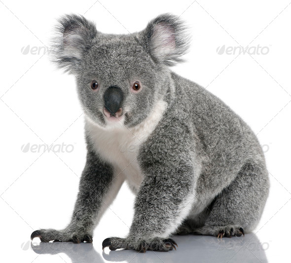 Young koala, Phascolarctos cinereus, 14 months old, sitting in front of white background - Stock Photo - Images