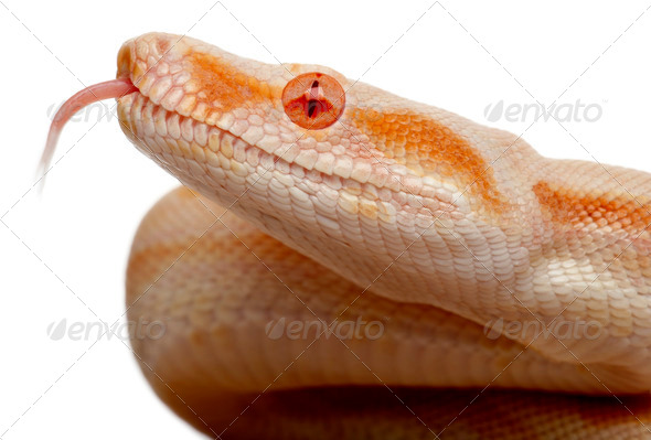 Close-up of Albinos Boa constrictor, Boa constrictor, 2 months old, in front of white background - Stock Photo - Images