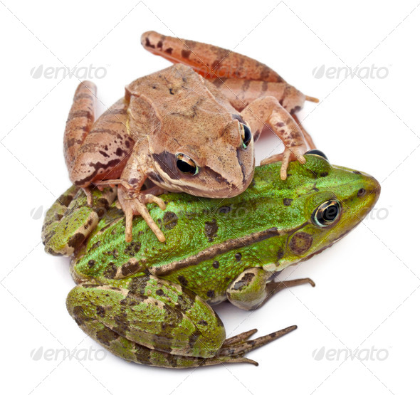 Common European frog or Edible Frog, Rana esculenta, and a Moor Frog, Rana arvalis - Stock Photo - Images