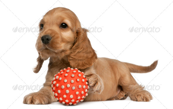 English Cocker Spaniel playing with a ball, 8 weeks old, in front of white background - Stock Photo - Images