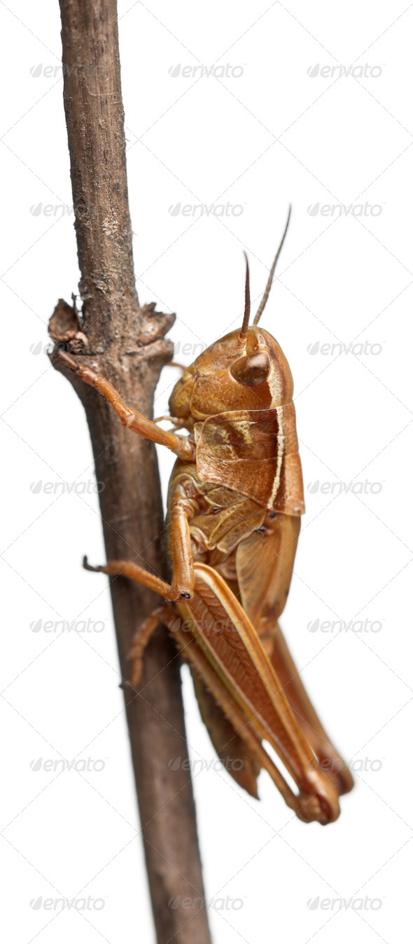 Grasshopper on branch in front of white background - Stock Photo - Images