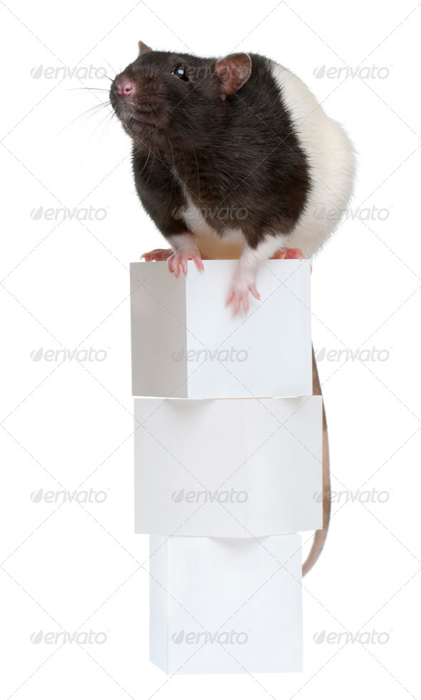 Fancy Rat, 1 year old, sitting on boxes in front of white background - Stock Photo - Images