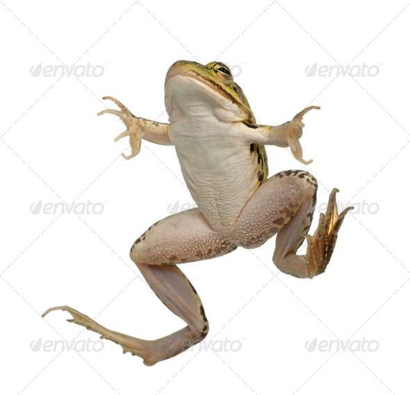 Edible Frog, Rana esculenta, in front of white background - Stock Photo - Images