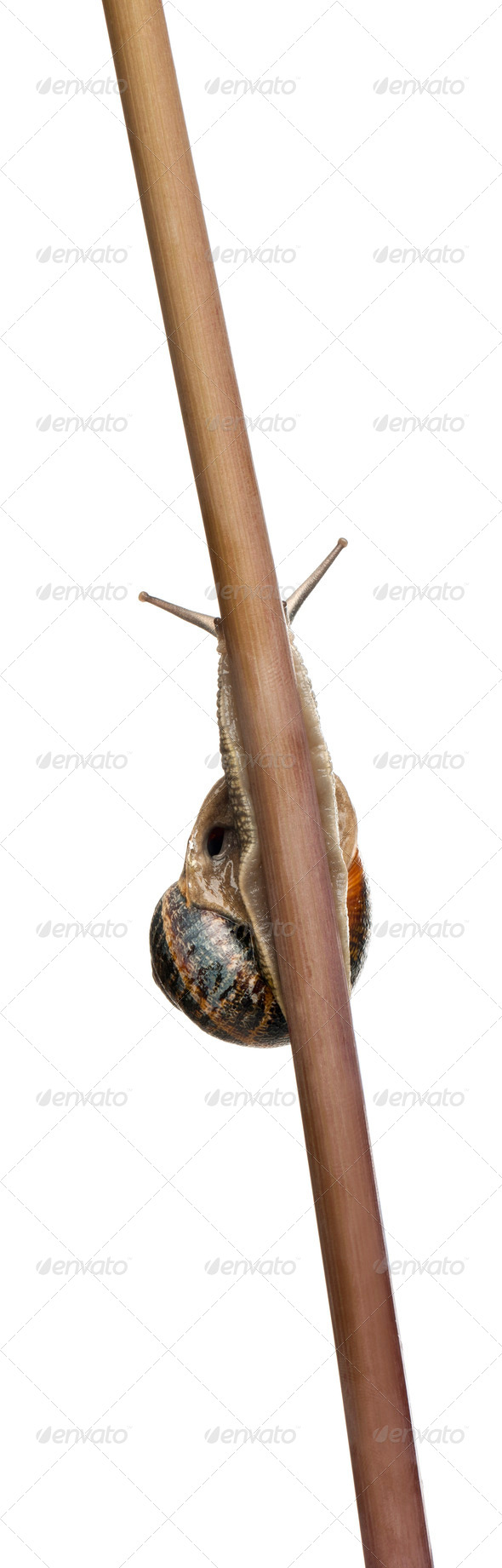 Garden Snail, Helix aspersa, climbing stem in front of white background - Stock Photo - Images