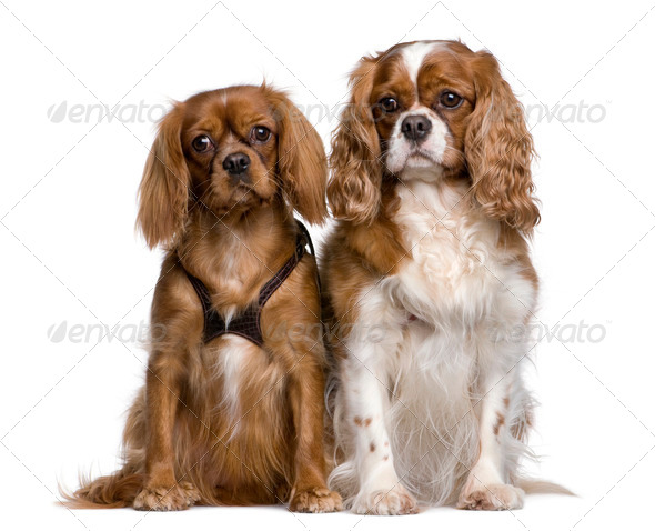 Two Cavalier King Charles Spaniels, 1 and 3 years old, sitting in front of white background - Stock Photo - Images