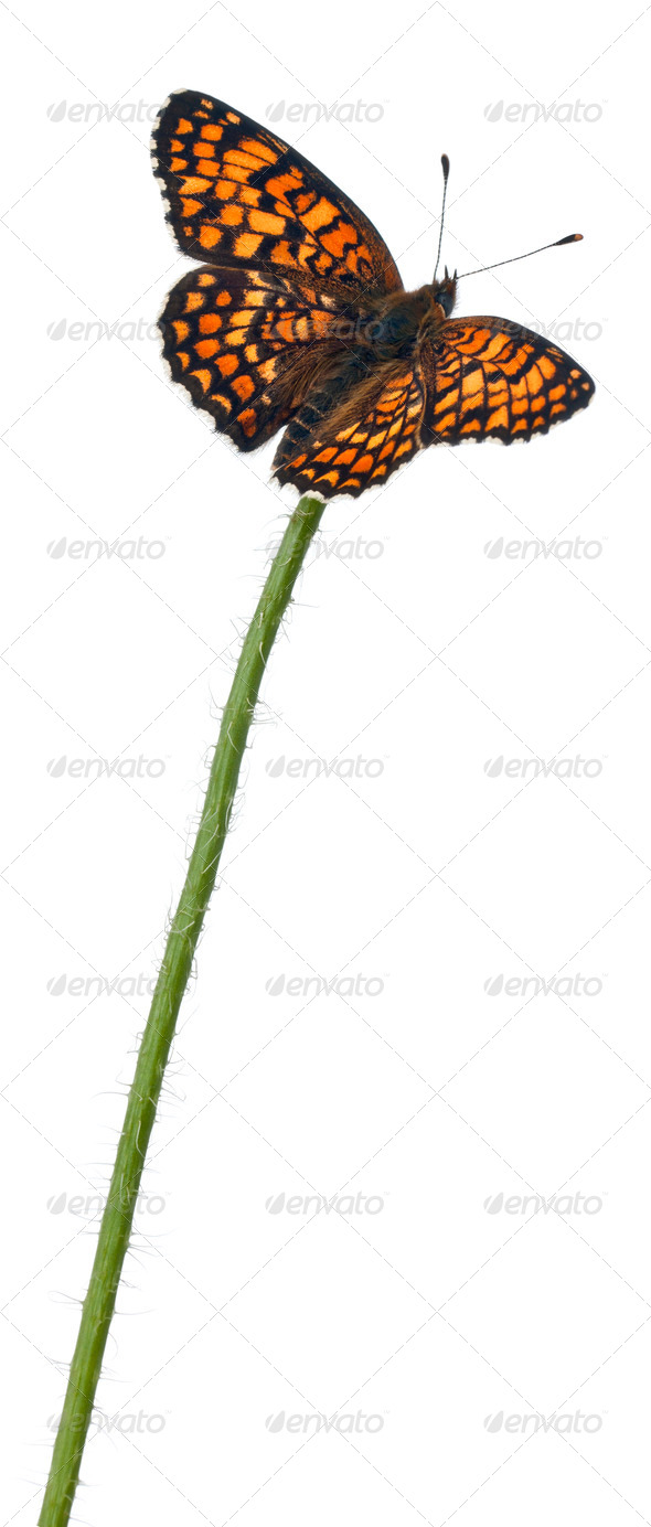Knapweed Fritillary, Melitaea phoebe, on flower stem in front of white background - Stock Photo - Images