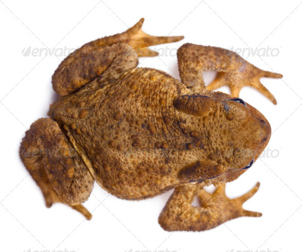 High angle view of Common toad or European toad, Bufo bufo, in front of white background - Stock Photo - Images