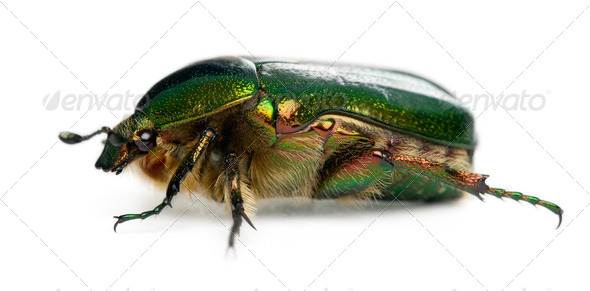 Rose chafer, Cetonia aurata, in front of white background - Stock Photo - Images