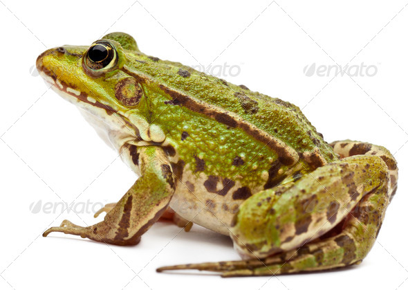 Common European frog or Edible Frog, Rana esculenta, in front of white background - Stock Photo - Images