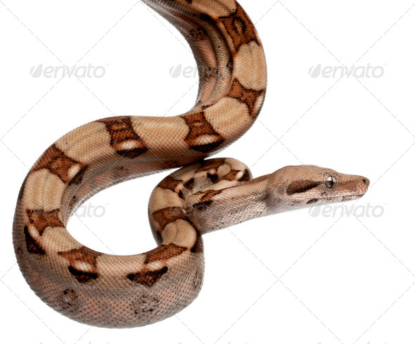 Salmon Boa constrictor, Boa constrictor, 2 months old, in front of white background - Stock Photo - Images