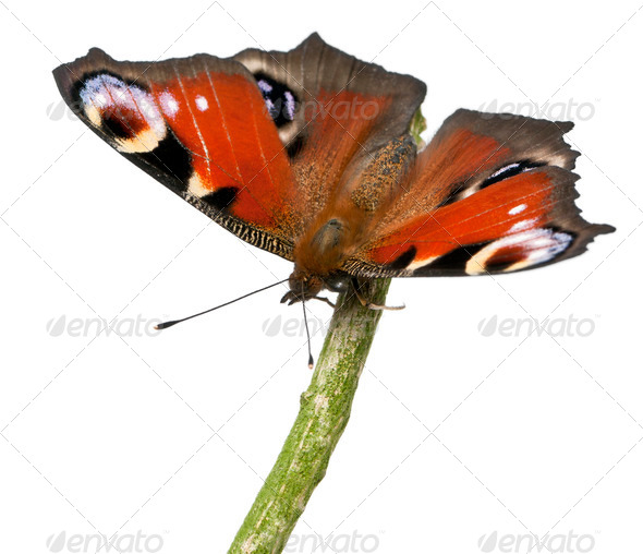 European Peacock moth, Inachis io, on a branch in front of white background - Stock Photo - Images