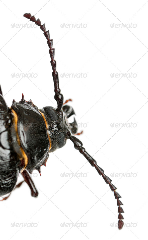 Tanner or sawyer, a species of longhorn beetle, Prionus coriarius, in front of white background - Stock Photo - Images