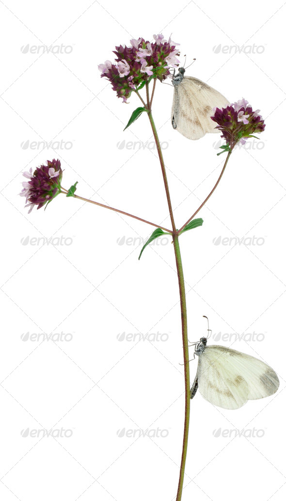 Wood White, Leptidea sinapis, on Oregano in front of white background - Stock Photo - Images