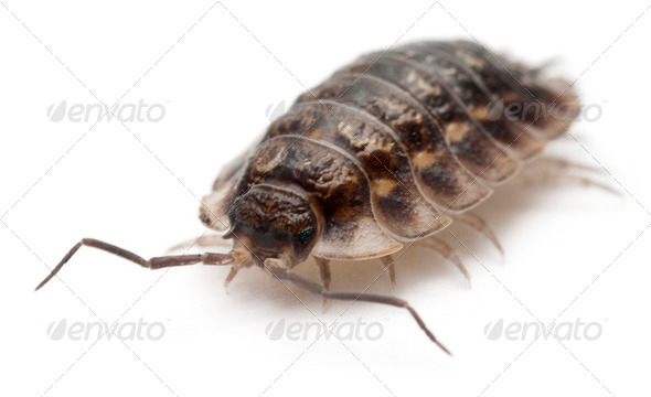 Common woodlouse, Oniscus asellus, in front of white background - Stock Photo - Images
