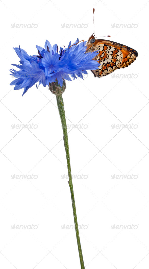 Knapweed Fritillary, Melitaea phoebe, on cornflower in front of white background - Stock Photo - Images