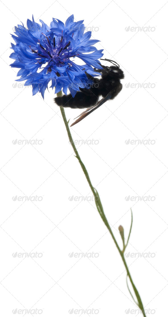 Carpenter bee, Xylocopa violacea, on flower in front of white background - Stock Photo - Images