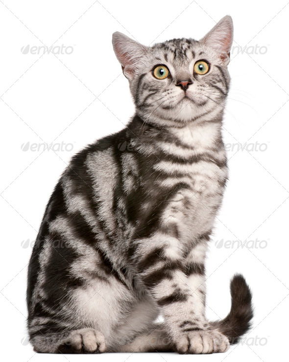 British Shorthair kitten, 4 months old, sitting in front of white background - Stock Photo - Images