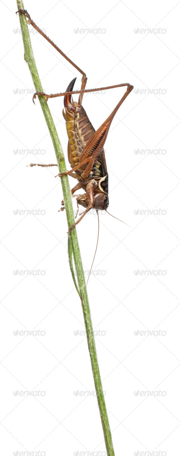 Female Shield-back Katydid, Platycleis tessellata, in front of white background - Stock Photo - Images
