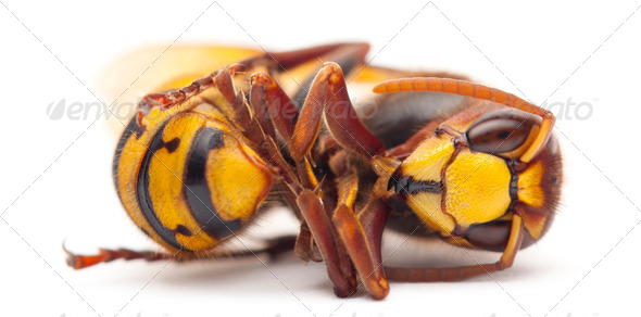 Dead European hornet, Vespa crabro, in front of white background - Stock Photo - Images
