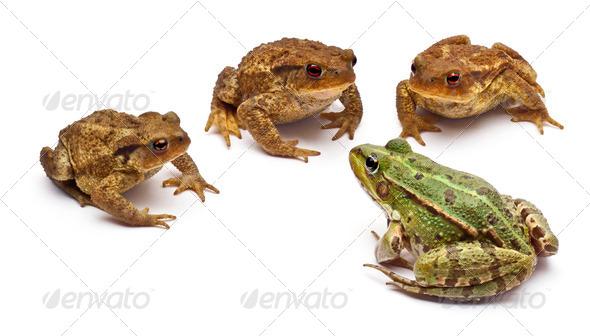 Common European frog or Edible Frog, Rana kl. Esculenta - Stock Photo - Images