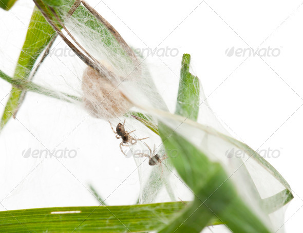 Nursery web spider, Pisaura mirabillis, spiderlings in nest in front of white background - Stock Photo - Images