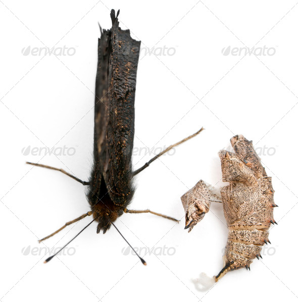 European Peacock moth, Inachis io, next to it's cocoon in front of white background - Stock Photo - Images