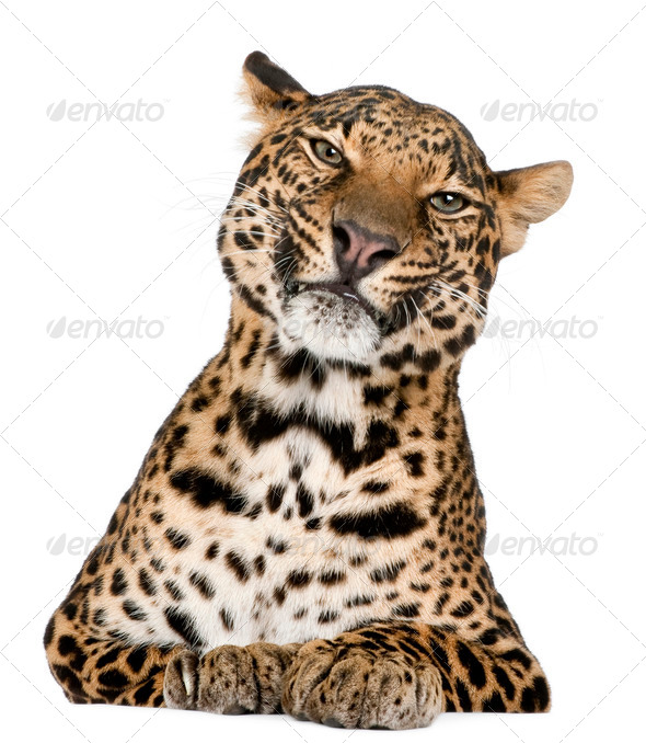 Leopard, Panthera pardus, lying in front of white background - Stock Photo - Images