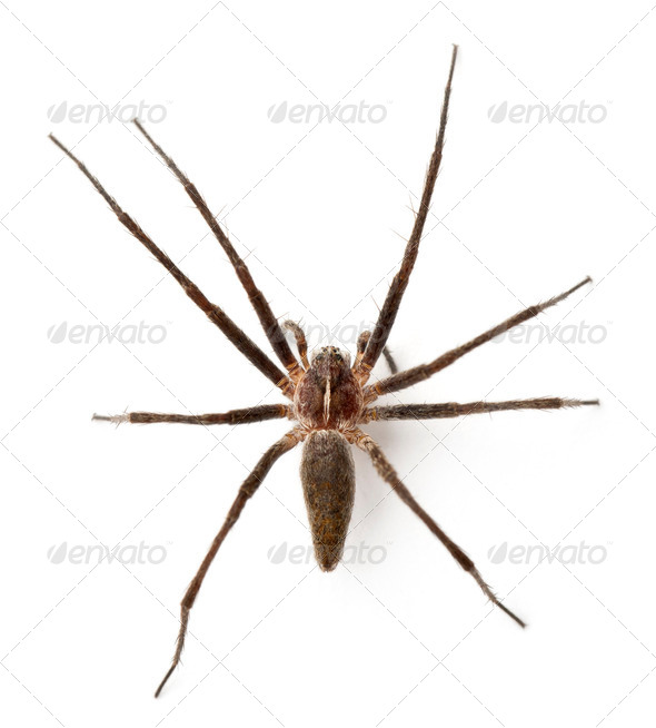 Nursery web spider, Pisaura mirabillis, in front of white background - Stock Photo - Images