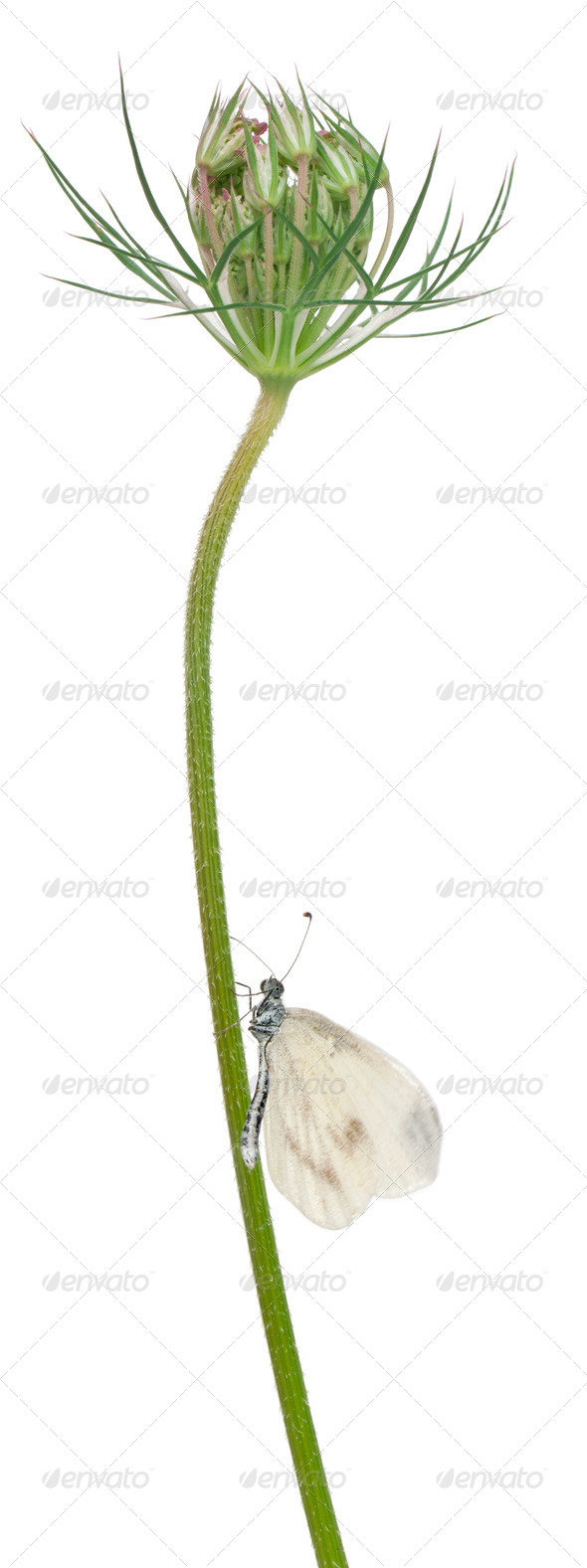 Wood White, Leptidea sinapis, on plant in front of white background - Stock Photo - Images