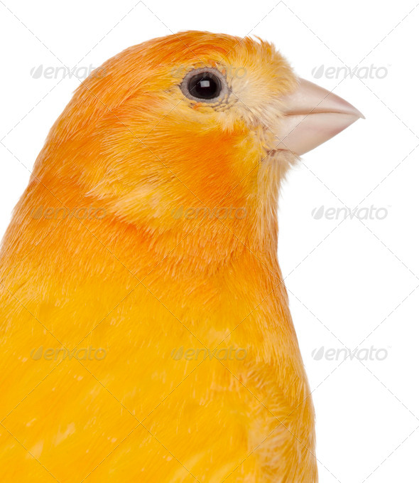 Close-up of Canary, Serinus canaria domestica, 2 years old, in front of white background - Stock Photo - Images