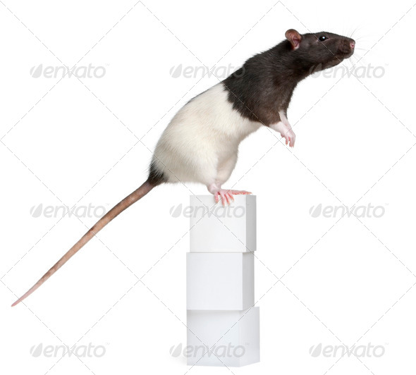 Fancy Rat, 1 year old, standing on boxes in front of white background - Stock Photo - Images