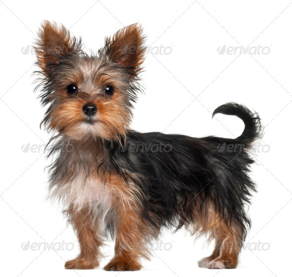 Yorkshire Terrier puppy, 8 weeks old, standing in front of white background - Stock Photo - Images