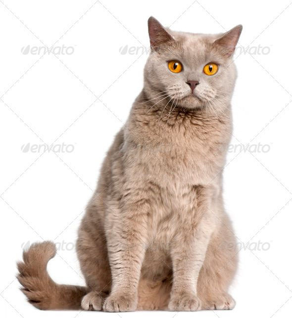 British Shorthair cat, 2 years old, sitting in front of white background - Stock Photo - Images