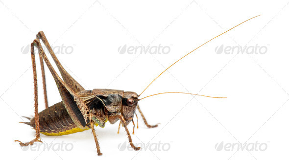 Male Shield-back Katydid, Platycleis tessellata, in front of white background - Stock Photo - Images