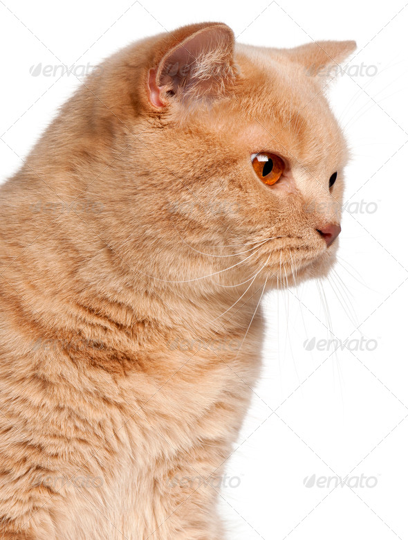 Ginger British Shorthair cat, 1 year old, headshot in front of white background - Stock Photo - Images