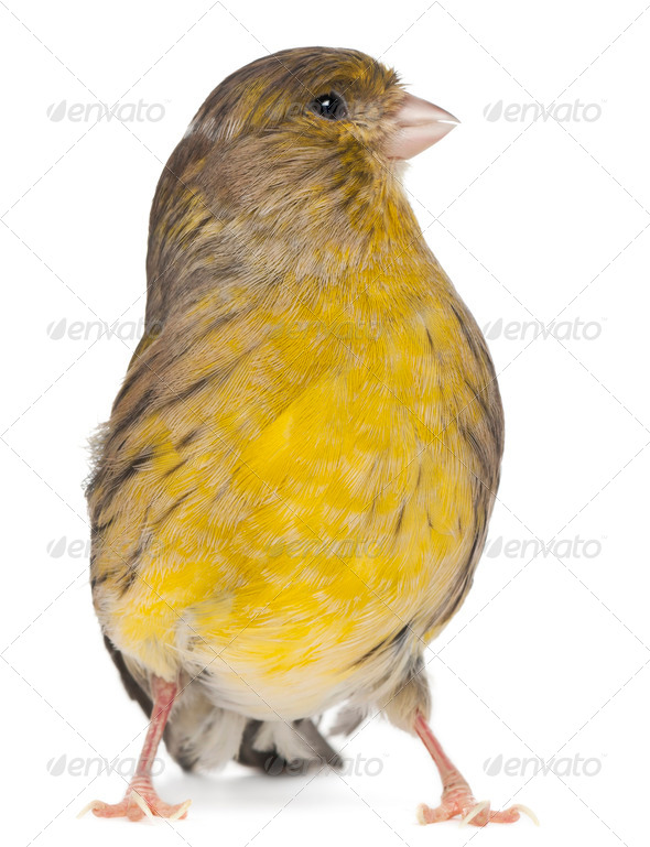Atlantic Canary, Serinus canaria, 2 years old, in front of white background - Stock Photo - Images