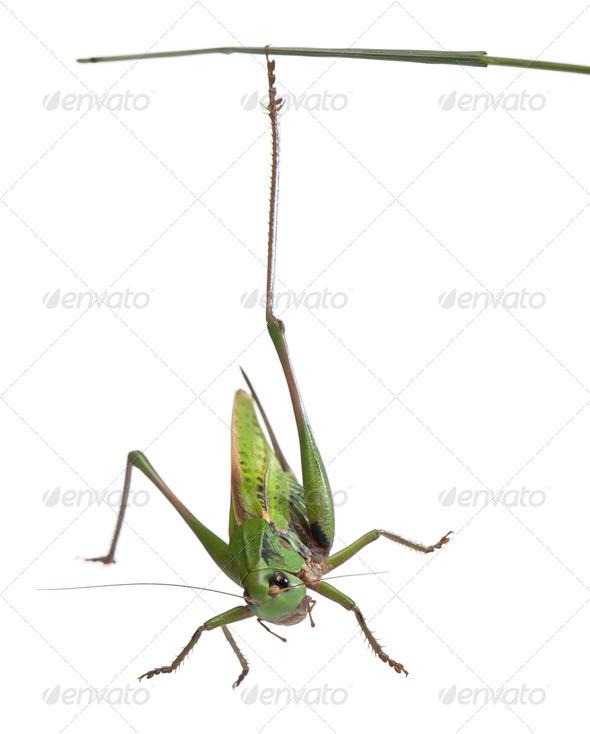Female wart-biter, a bush-cricket, Decticus verrucivorus, in front of white background - Stock Photo - Images