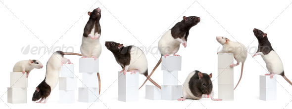 Collage of Fancy Rats, 1 year old, on boxes in front of white background - Stock Photo - Images