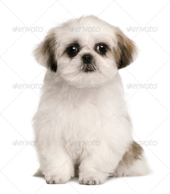 Shih tzu puppy, 4 months old, sitting in front of white background - Stock Photo - Images