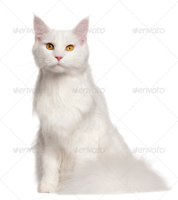 Maine Coon cat, 8 months old, sitting in front of white background - Stock Photo - Images