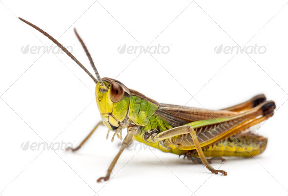 Grasshopper in front of white background - Stock Photo - Images