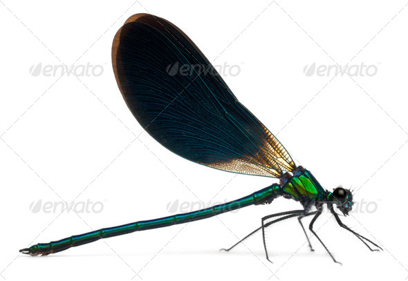 Male Banded Demoiselle, Calopteryx splendens, in front of white background - Stock Photo - Images