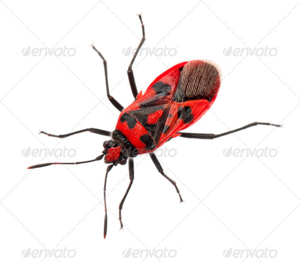 Scentless plant bug, Corizus hyoscyami, in front of white background - Stock Photo - Images