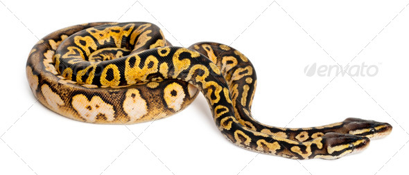 Male and female Pastel calico Royal Python, ball python, Python regius, in front of white background - Stock Photo - Images