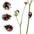 Asian lady beetles, or Japanese ladybug or the Harlequin ladybird, Harmonia axyridis