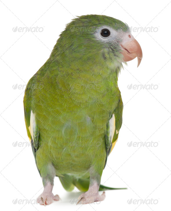 White-winged Parakeet, Brotogeris versicolurus, 5 years old, in front of white background - Stock Photo - Images