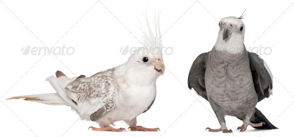 Male and female Cockatiel, Nymphicus hollandicus, in front of white background - Stock Photo - Images