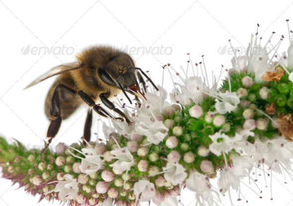 Female worker bee, Anthophora plumipes, on plant in front of white background - Stock Photo - Images