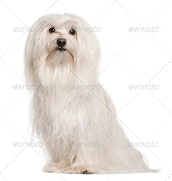 Maltese dog, 5 years old, sitting in front of white background, studio shot - Stock Photo - Images