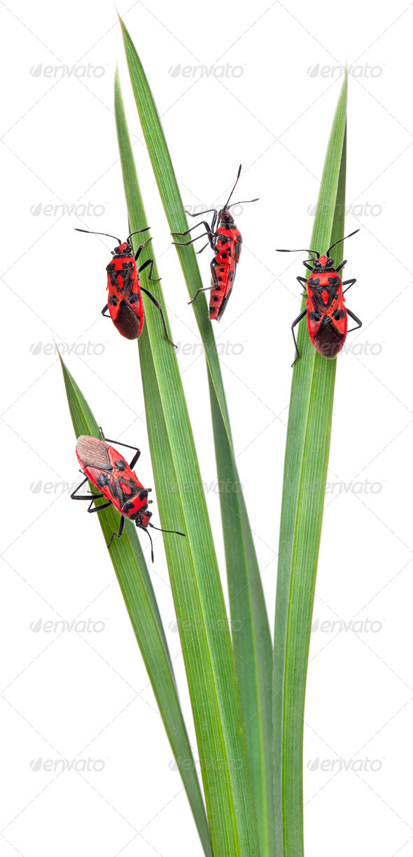 Collage of Scentless plant bugs, Corizus hyoscyami, on leaves in front of white background - Stock Photo - Images